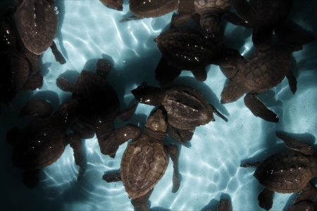 ViVAZUL-El Salvador - 200,000 eggs & 170,000 baby turtles